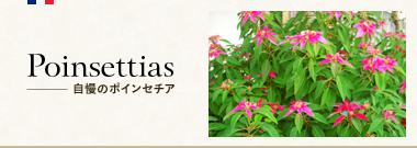 Poinsettias 自慢のポインセチア